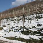 Il vigneto La Scippata sotto la neve. Valico di Chiunzi, Costa d'Amalfi