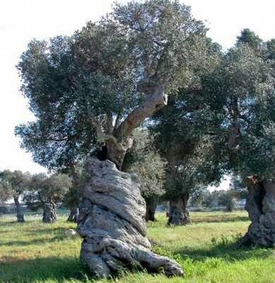 un olivo secolare