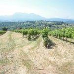 La vigna di Mastroberardino a Santo Stefano del Sole domina la valle del Sabato (Foto Lello Tornatore)