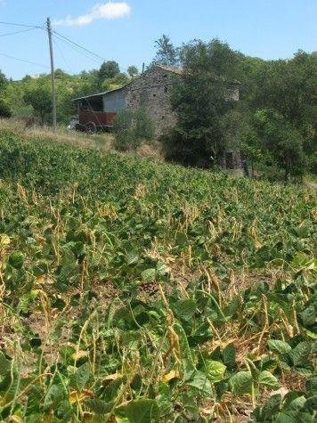 Campo di fagioli