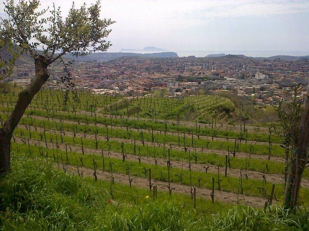 Colle Rotondella, la vigna da cui nasce il Piedirosso. Sullo sfondo: Agnano e la collina di Posillipo