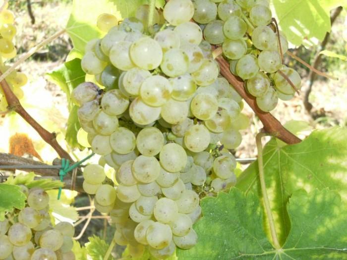 grappoli di Fiano nella tenuta Verrone