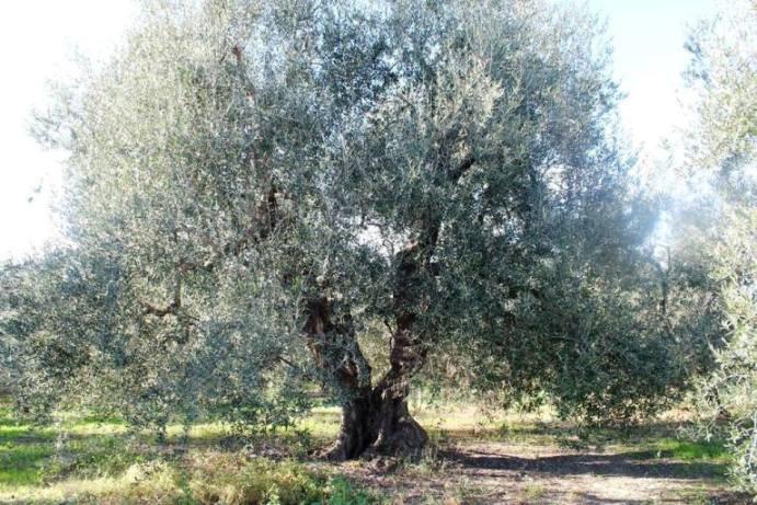 Antico Frantoio Muraglia, un olivo