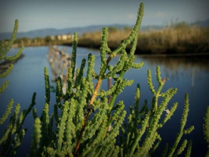Salicornia sulla laguna - foto di Gianni Ferramosca