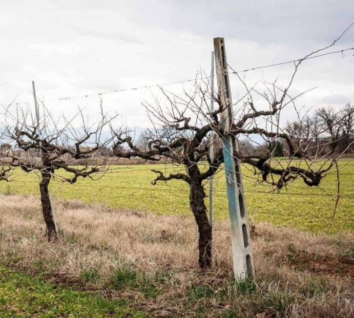 Tipica coltivazione a Palmetta - foto di Daniele Moroni