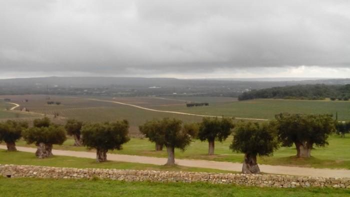 Marina Palusci, gli olivi