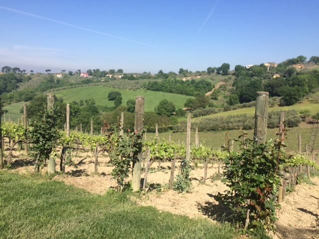 vigne iprine dell'azienda Quintodecimo