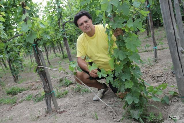 Agriturismo Il Gruccione Le viti di Piedirosso. A piede franco