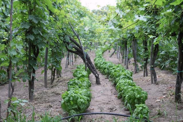 Agriturismo Il Gruccione il basilico tra le viti