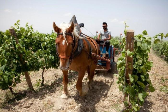 Cantina Olianas, i cavalli in vigna