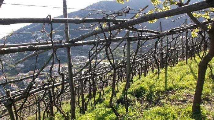 Ettore Sammarco, vigne