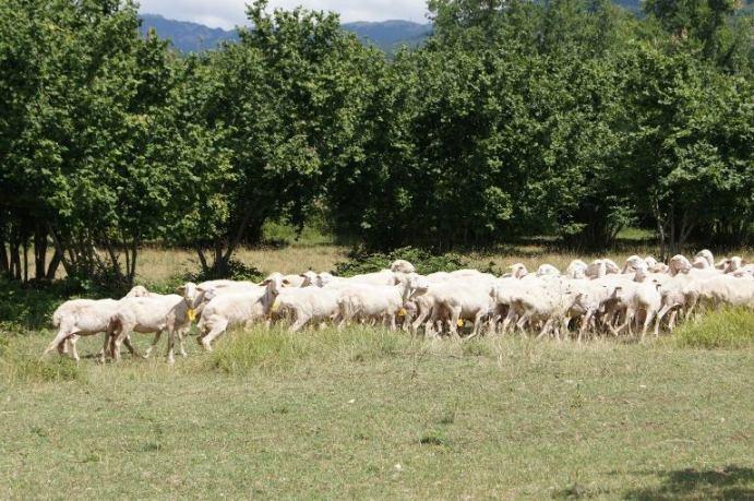 Quercete, pecore al pascolo