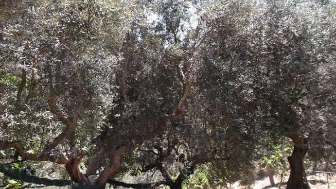 Paragano, alberi di olivo