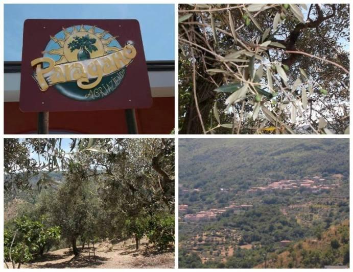 Paragano, olive in crescita sulla pianta, alberi di olivo e frutta e panorama di Perdifumo