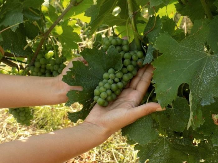 Petilia, grappolo di greco