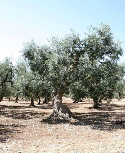 Cannito, un ulivo secolare