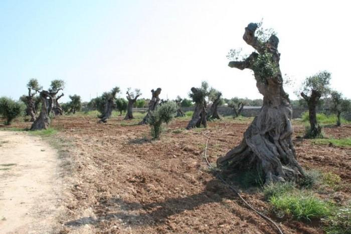 Coppola, oliveto secolare recuperato dalla Xylella