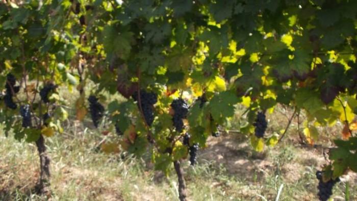 Casebianche, grappoli di Piedirosso