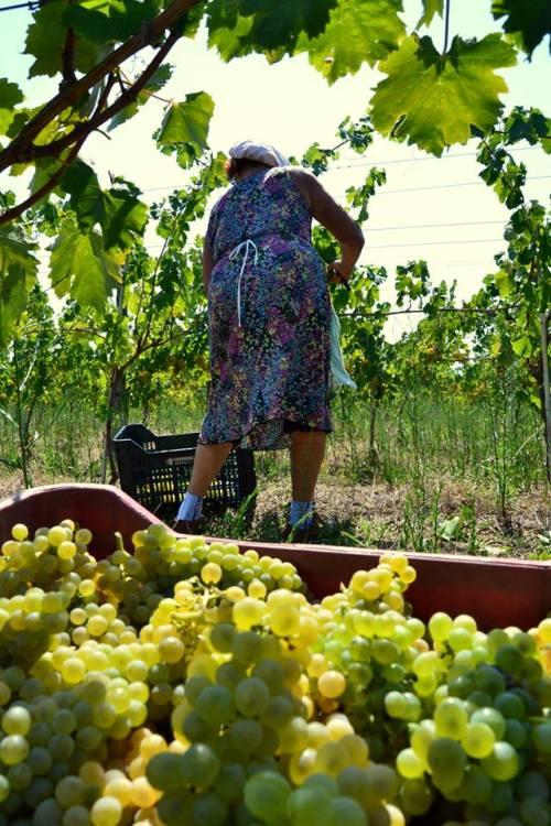 Tenuta Macellaro, la raccolta delle uve