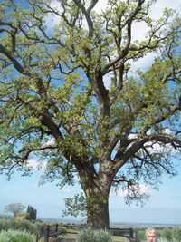 Tenuta dell'Ornellaia, la quercia