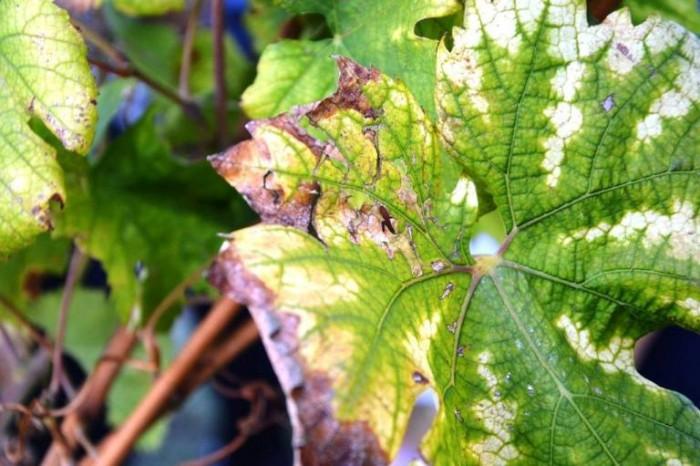 La Sibilla, il particolare delle foglie