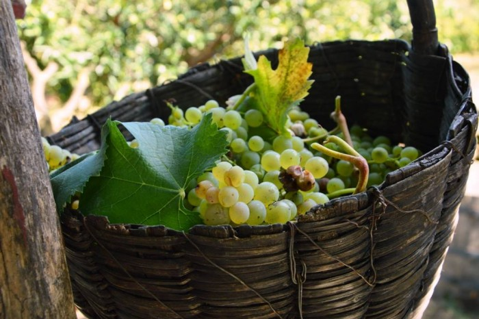 La Sibilla, la vendemmia - cesta con uva