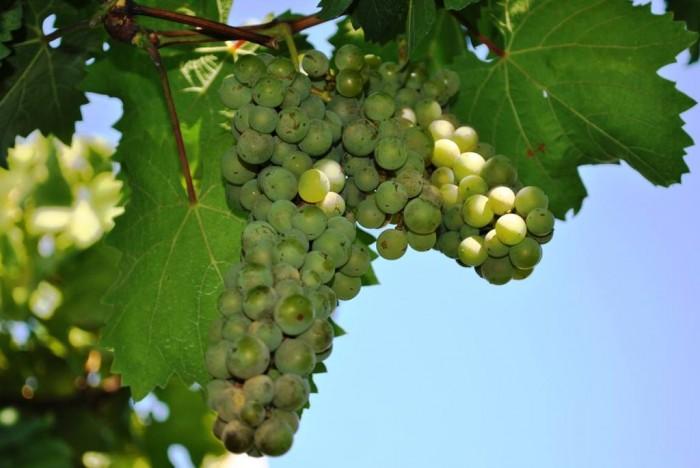 La Sibilla, la vendemmia- uva bianca