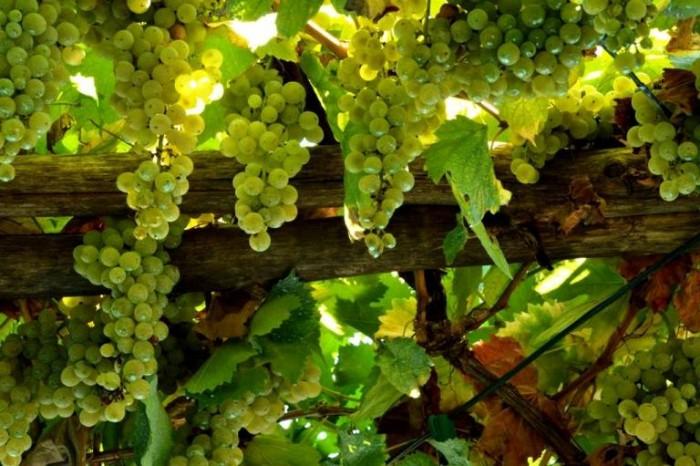 La Sibilla, le uve