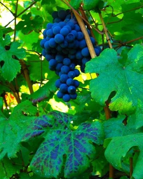 La Sibilla, uva rossa