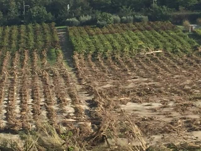 Le vigne distrutte dall'alluvionea