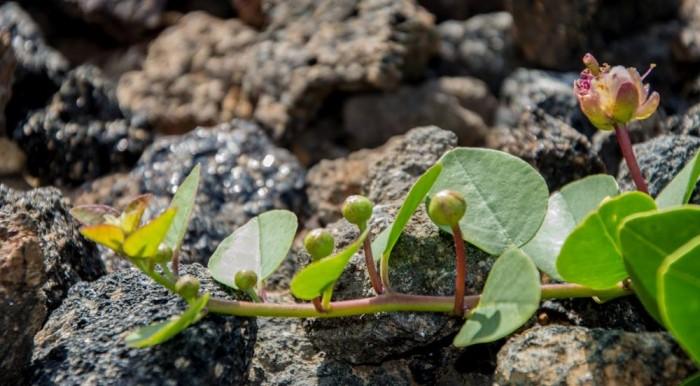 Germogli e fiore del cappero