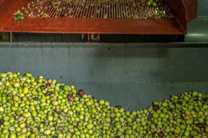 Lavorazione delle olive in frantoio