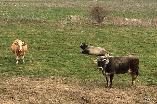Mucche allo stato semibrado