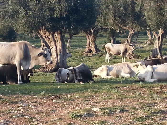 Podoliche (foto  Giustino Catalano)