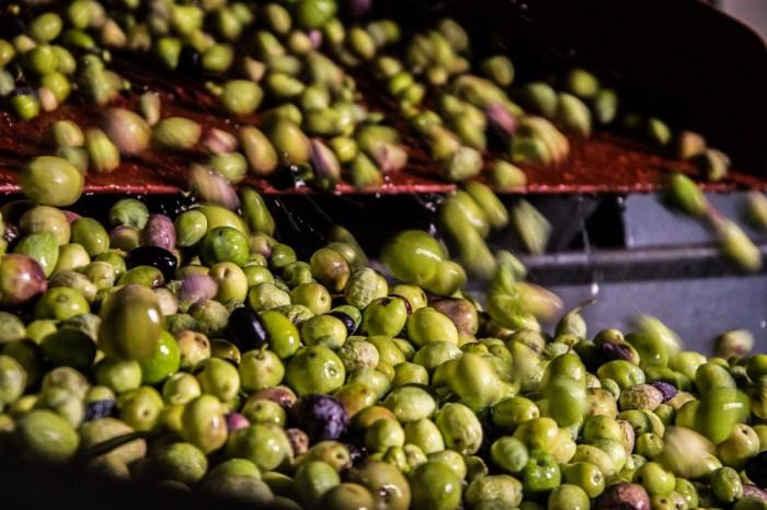 Varietà di olive in lavorazione