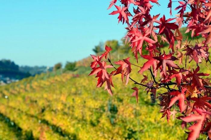 le vigne sperimentali all'Ampelion di Alba