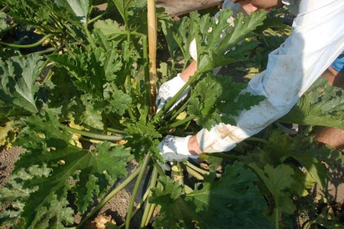 una donna nel suo campo di zucchine intenta alla raccolta