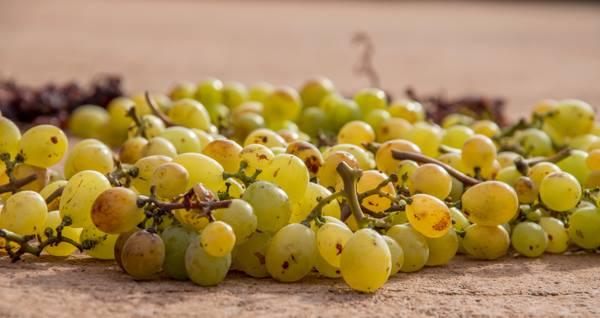 Pantelleria, uve su stenditoi