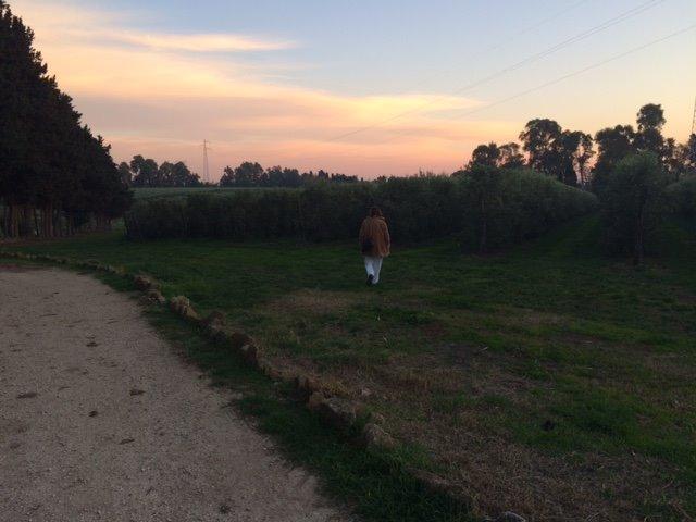 Coltura intensiva di olivi a sud di Roma