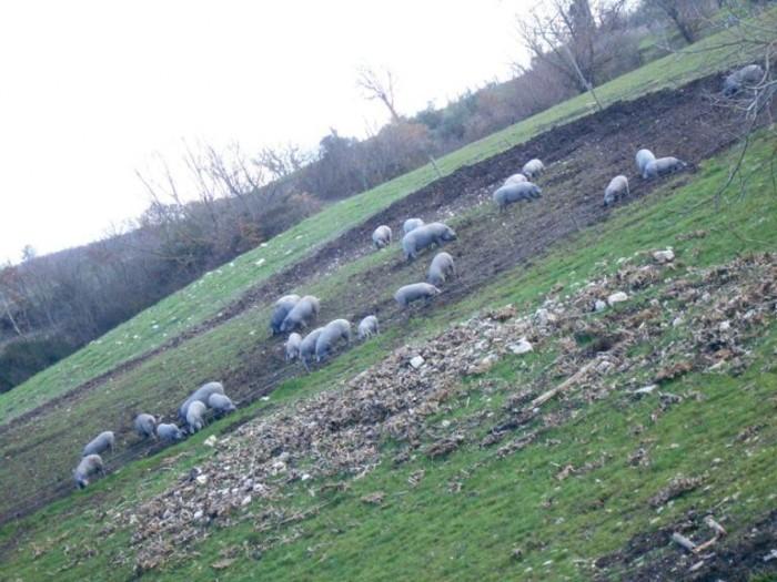 Agriturismo Mastrofrancesco,maiali neri all'aperto