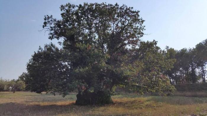 Bianchini Rossetti, il castagno