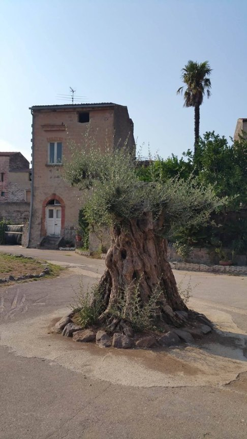 Bianchini Rossetti, l'olivo