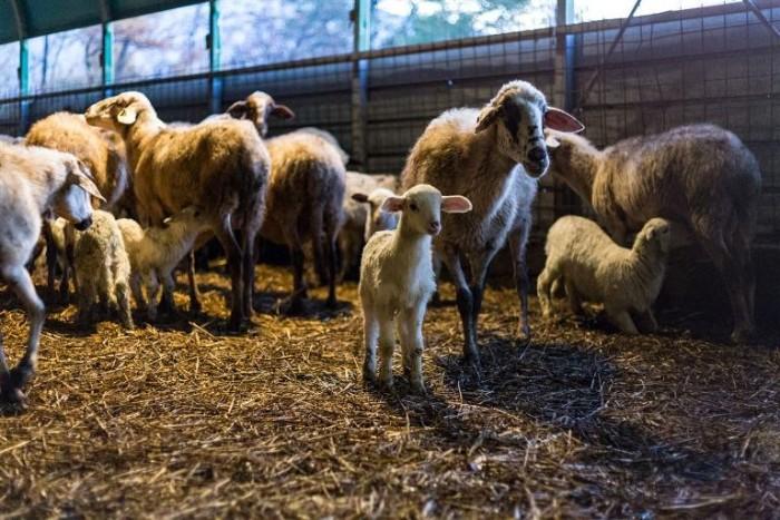 Conciato Romano, in 8-10 minuti il latte ovino e vaccino arriva in laboratorio