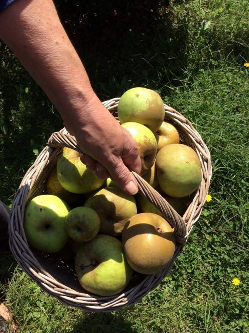 Il Poggio del Picchio, le mele