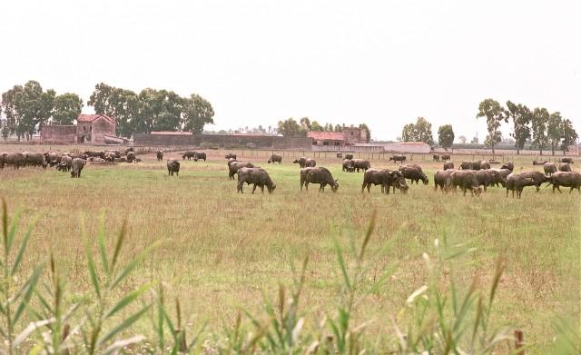 Caseificio Prati del Volturno, le bufale al pascolo