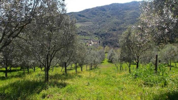 Oleificio Marsicani, giovani piante di olivo