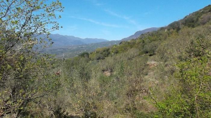 Oleificio Marsicani, piante di olivo con lo sfondo del Monte Cervati