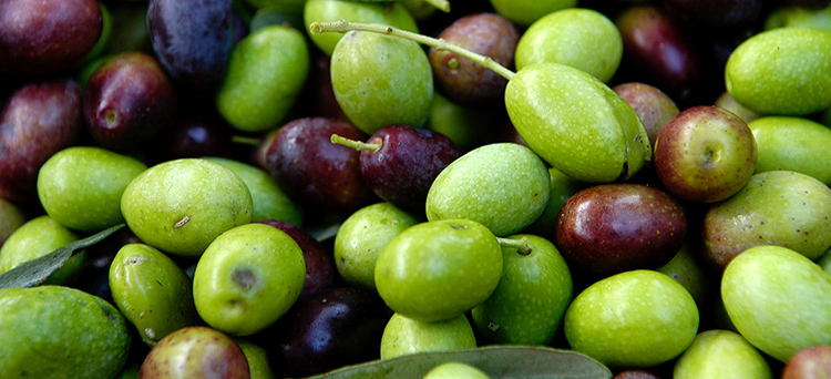 AgricolturaOliva - Olio raccolta olive azienda Letrari13 gennaio 2010Archivio CCIAA TN © Romano MagroneDIG DSC_8383RCC