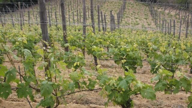 La Giribaldina Vigna  di Barbera terrazzata  a Vaglio Serra