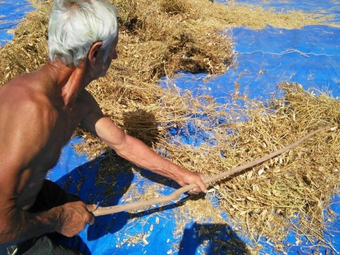 A fine luglio, viene estirpata, essiccata  e battuta con il vivillo, antico strumento dei contadini flegrei